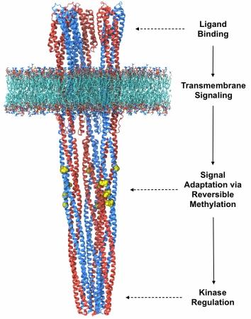 Chemoreceptor trimer-of-dimers